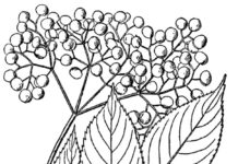 A 1913 illustration of the elder plant by N.L. Britton and A. Brown.